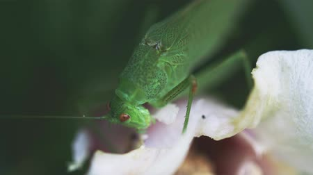 antennae : great green bush-cricket feeding on white petal Stock Footage