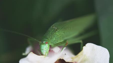 espécies : great green bush-cricket feeding on white petal Vídeos