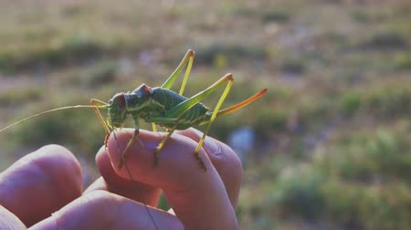 antennae : great green bush-cricket on human hand Stock Footage