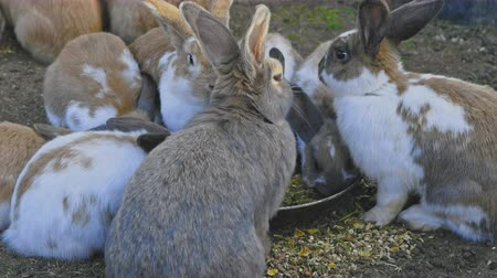 coelho : Rabbits feeding from dish in the middle