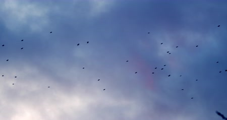 meteorologia : Crows flying through the sky at sunset Stock Footage