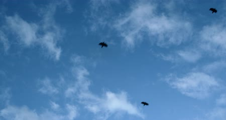 hejno : Crows flying against blue skies at winter