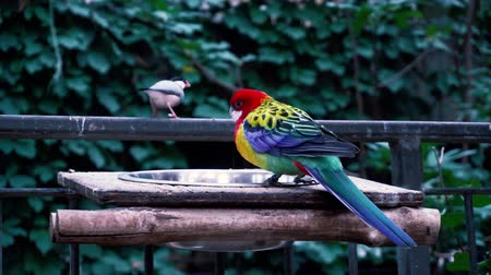 brezilya : Fascinating close up 4k view on rainbow colorful tropical birds parrots feeding drinking in wild nature environment Stok Video