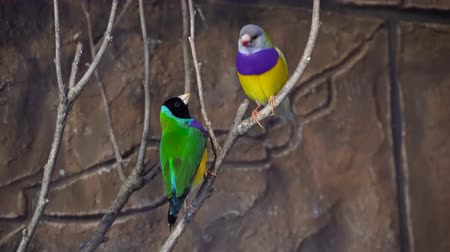 extinct species : Amazing close up 4k view on rainbow colorful tropical birds parrots sitting on tree branch talking in wild nature
