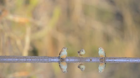 mókás : Incredible steady low angle blurred close up view on small little birds drinking water from mirror surface water puddle