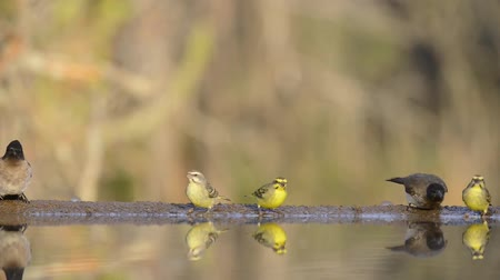 békesség : Gorgeous steady low angle blurred close up view on small little birds drinking water from mirror surface water puddle Stock mozgókép