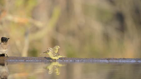 mókás : Wonderful steady low angle blurred close up view on small little birds drinking water from mirror surface water puddle