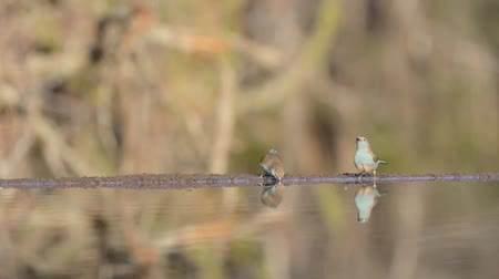 papagaio : Beautiful steady low angle blurred close up view on small little birds drinking water from mirror surface water puddle