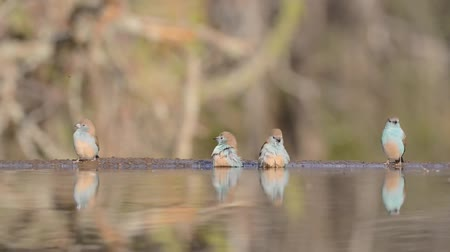 mókás : Magnificent steady low angle blurred close up view on small little birds drinking water from mirror surface water puddle Stock mozgókép
