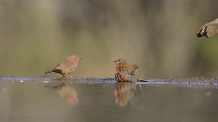 mókás : Excellent steady low angle blurred close up view on small little birds drinking water from mirror surface water puddle