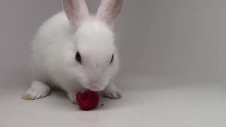 mókás : Small tiny little bunny amazing fluffy white cute rabbit munching eating strawberry on white background in close up view