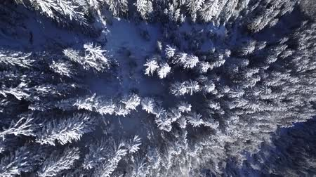 cielo sereno : Picturesque top aerial drone flight over snowy pine tree tops in winter forest in Alps mountain hill landscape