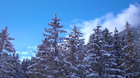 旅行の目的地 : Amazing drone aerial flyover in clear blue sky over snow covered pine tree tops in Alps mountain forest landscape