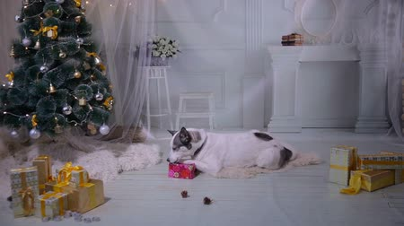 převrátit : Dog unpacks a gift near near christmas Decorations during New year celebration.