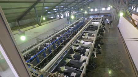 smoczek : Automated milking of cows at a farm.
