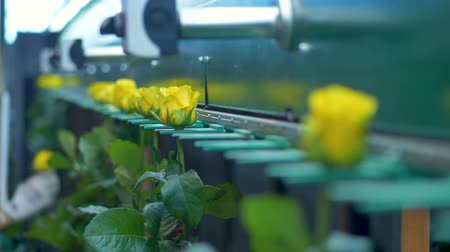 automated : Factory machine transporting flowers time lapse.