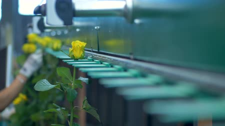 эффективный : Sorting machine transporting flowers time lapse.