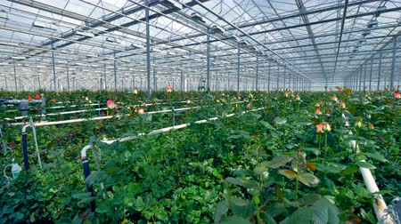 consumir : Big greenhouse generating great number of flowers. Stock Footage