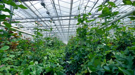 consumir : Huge greenhouse. Growing of flowers in large greenhouse. Stock Footage