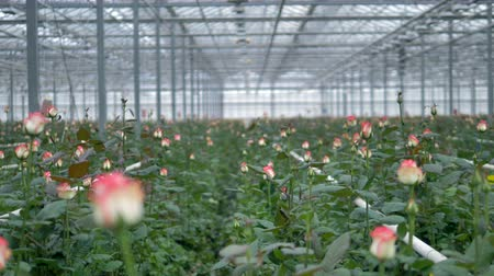 хрупкость : A flower field full of roses in a greenhouse. Стоковые видеозаписи
