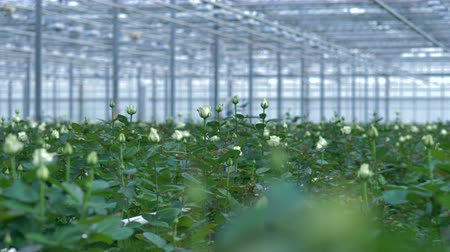 separado : White bridal roses growing in a greenhouse.
