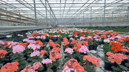 gerânio : Pots with pelargonium flowers on concrete floor of greenhouse.