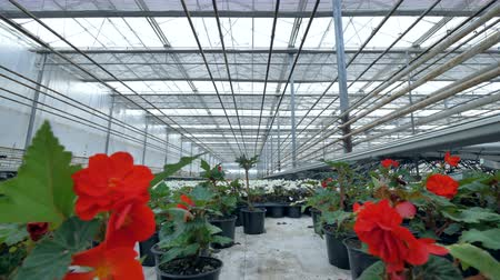 propagação : Blooming red begonias in their individual pots in a closed glasshouse. 4K. Vídeos