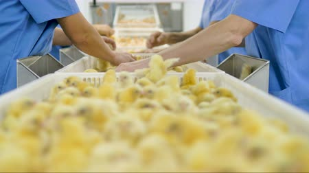 çiftlik hayvan : Poultry workers sorting chicks in factory. Agriculture industry. Stok Video