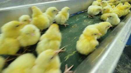 baby chicken : Small chickens at poultry conveyor belt. Agriculture industry.