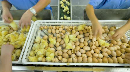 egg sorting : Agriculture industry. Poultry workers sorting chicks in factory. Stock Footage