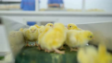 madárinfluenza : Small chicks at a conveyor line at poultry. 4K.