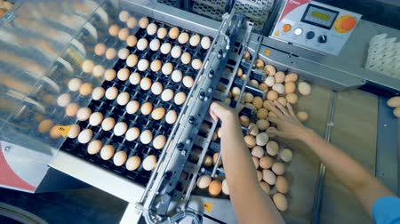 egg sorting : Worker hands sorting eggs at conveyor belt. 4K. Stock Footage
