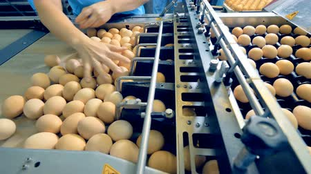 egg sorting : Chicken farm poultry workers sorting eggs at factory conveyor. Poultry farm industrial production line. Stock Footage
