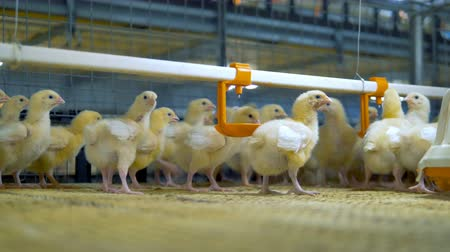 csaj : Baby chicken at poultry. Chicken Farm indoors. Stock mozgókép