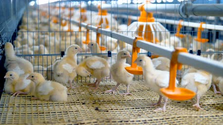 population explosion : Baby chiken at a poultry. Chicken Farm, poultry equipment.