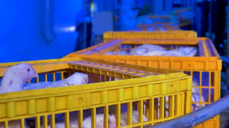animais domésticos : Chickens transferred within a poultry farm.