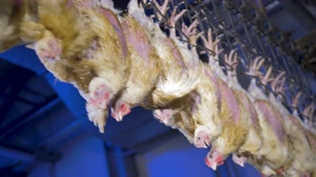 dead chickens : Unmoving feathered chickens move on processing line.