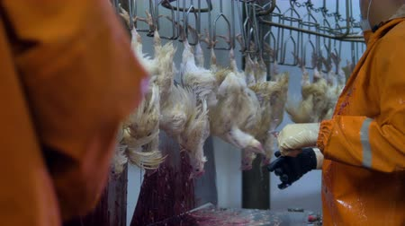 dead chickens : Farmers cut chicken throats with knives.