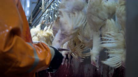 жестокий : Workers kill chickens in a fast line with professional knife cuts.