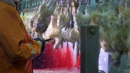 dead chickens : An endless line of chickens for throat cutting. Stock Footage