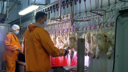 gory : Workers in protective suits kill chickens by neck cutting. Stock Footage
