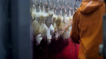 dead chickens : Blood stained wall behind a chicken throat cutting line. Stock Footage