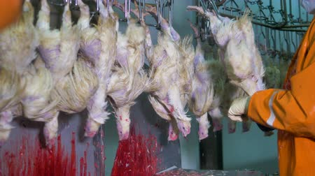 dead chickens : Factory workers cutting chicken throats with sharp knives. Stock Footage