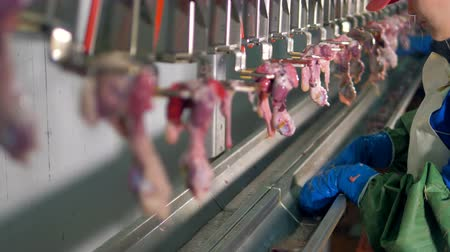 dead chickens : Many hanging internal organs of chickens on factory line.