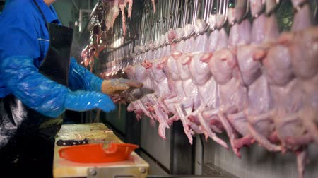 dead chickens : A factory employee checks inside chicken carcasses for organs.