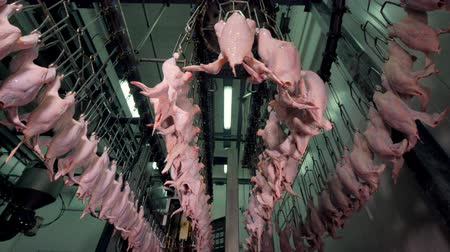 dead chickens : A low angle view on a chicken processing facility at work. Stock Footage