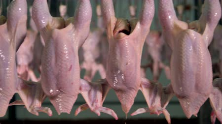 dead chickens : Clean and hollow chicken carcasses move hanging from leg hooks.