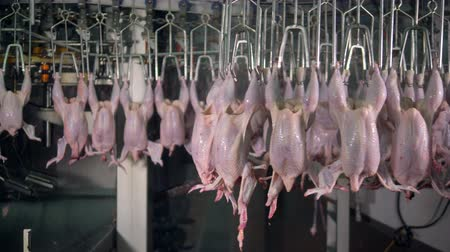 dead chickens : Complicated factory route of transferring chicken carcasses. Stock Footage