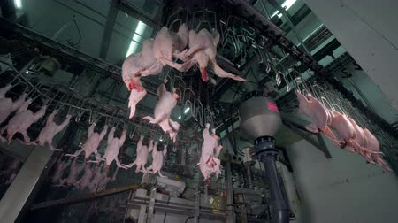 непрерывный : Food production line partially packed with chicken bodies. Стоковые видеозаписи