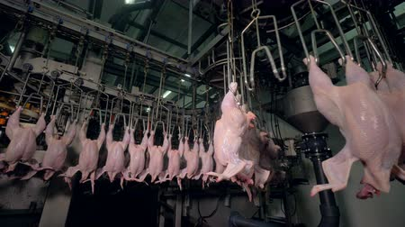 dead chickens : Many shaking chicken bodies hang from poultry factory line.